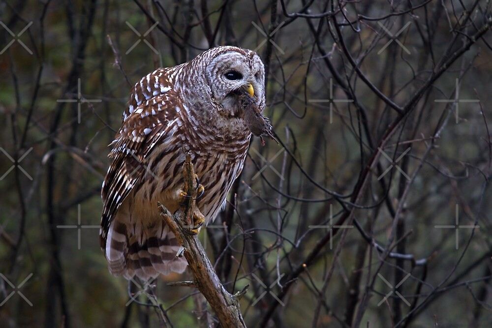 Barred Owl with vole by Jim Cumming