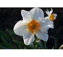 Spring Daffodil Photographic Print