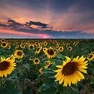 Sunflower Sunset by Ryan Wright