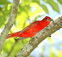Summer Tanager (Piranga rubra) by Liam Wolff