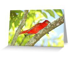 Summer Tanager (Piranga rubra) Greeting Card