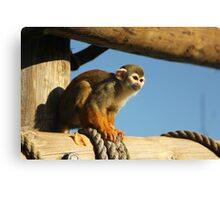 Squirrel Monkey - Yorkshire Wildlife Park Canvas Print