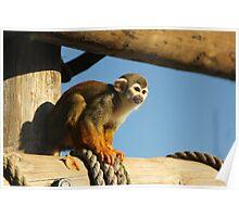 Squirrel Monkey - Yorkshire Wildlife Park Poster