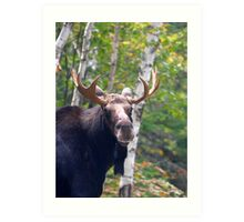 Maine Bull Moose  Art Print