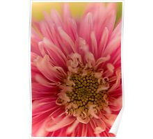 Pink Aster Poster