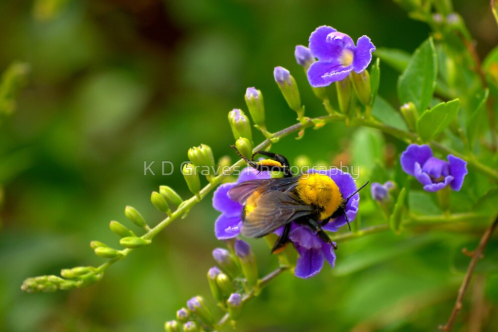 Fuzzy Bumble Bee by K D Graves Photography
