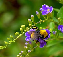 Fuzzy Bumble Bee by Diana Graves Photography
