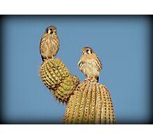 American Kestrel Pair Photographic Print