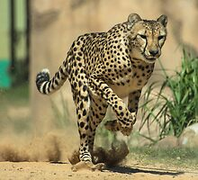 Cheetah on the Run by Matt Hopkins