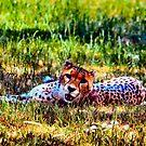 Cheetah by Bami