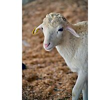 Soft as Lamb Photographic Print