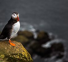 Wild Birds: Puffin on a Cliff, Iceland by Wax Museum Media