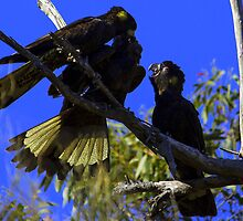 Black Cockatoo's feeding time by Doug Cliff