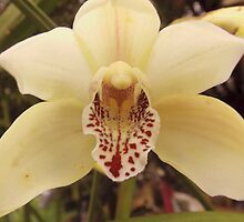 orchid by Peta Hurley-Hill