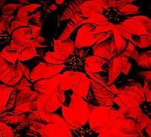 Poinsettia by Hallowaltz