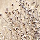 Frosted Prairie Wildflowers by lorilee