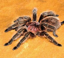 Chilean Rose Tarantula by Kawka