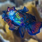Spawning Mandarinfish by Mark Rosenstein