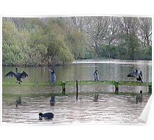 4 Cormorants and a Coot. Poster