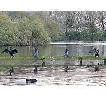 4 Cormorants and a Coot. Photographic Print