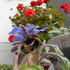 Bumblebee on borage, geraniums by PierPhotography