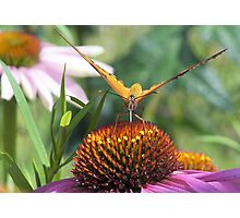 Butterfly eating Photographic Print