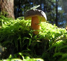Xerocomus Badius- Maronenröhrling- Bay Bolete in October by PierPhotography