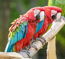 Red and Blue macaw by derejeb