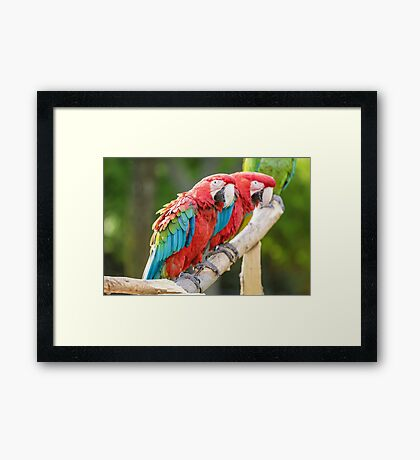 Red and Blue macaw Framed Print