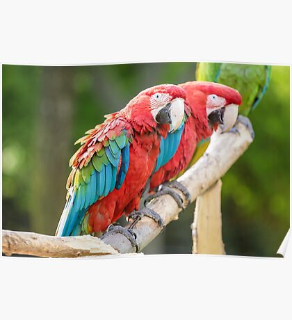 Red and Blue macaw Poster
