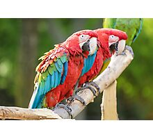 Red and Blue macaw Photographic Print