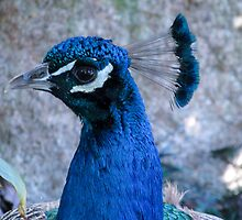 Male Peacock - Portrait of a beautify bird by DPalmer