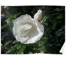 Snowy White Rose and Buds Poster
