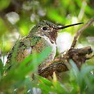 Anna's Hummingbird (Subadult Male) by Kimberly Chadwick