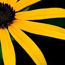 Yellow daisy by Kathleen Murtagh