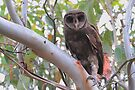 Sooty Owl Tyto Tenebricosa . by Donovan Wilson