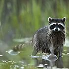 Ms. Raccoon. by Rafal Antoniuk