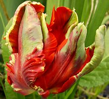 Parrot Tulip by Peta Hurley-Hill