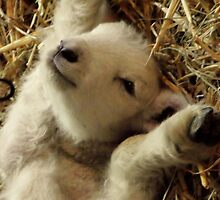 relaxing lamb by Peta Hurley-Hill