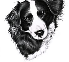 Border Collie Portrait by Nicole Zeug