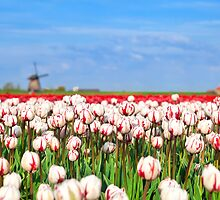 Tulips and windmill by Olha Rohulya