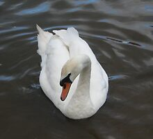 Swan on a Lake by RachelSheree
