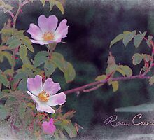 Rosa Canina by Amar-Images