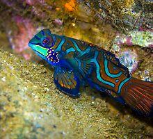 Mandarinfish by Robbie Labanowski