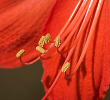 Amaryllis flower by caughtinmotion