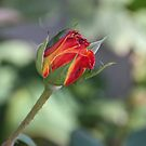 November Rosebud by heatherfriedman