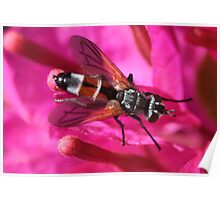 Soldier Fly - Stratiomyidae Poster