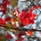sparkling berries by Claudia Dingle