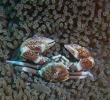 Porcelain Crab by Mark Rosenstein