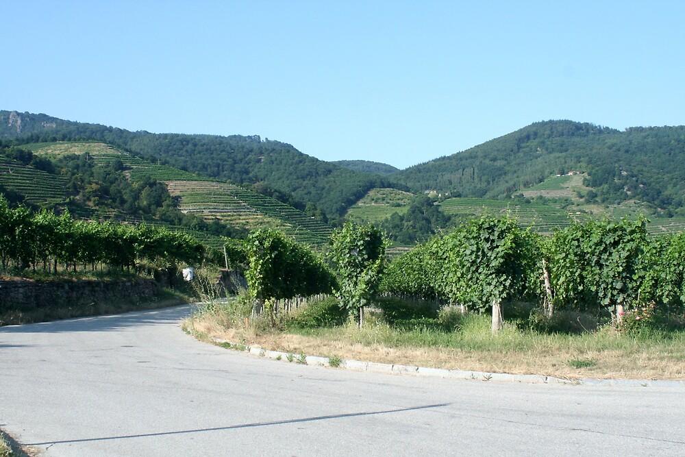 Vineyard and Apricot trees near the Danube, Wachau Austria by Ilan Cohen
